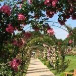 134 neue Rosenzüchtungen prämiert
