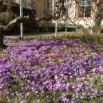 Frühlingsboten im Rathaushof